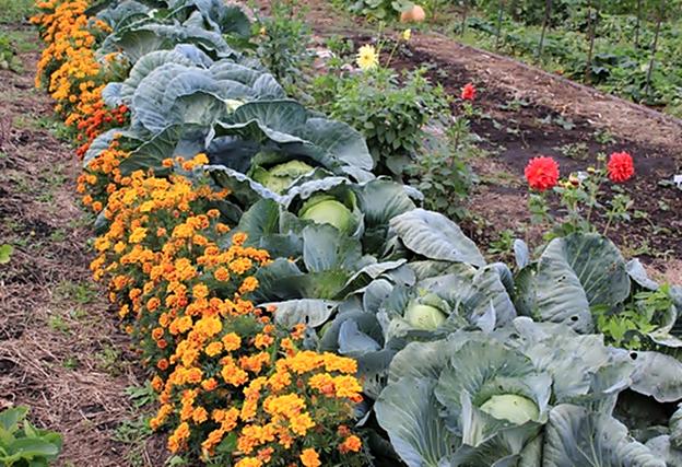 Что сажают в огороде цветы 207