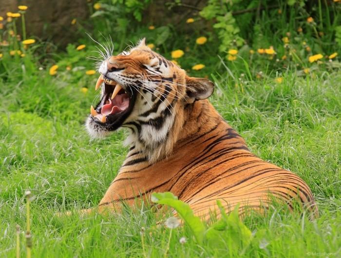 amurskii-tigr-foto-03-e1422537897673 (700x531, 135Kb)