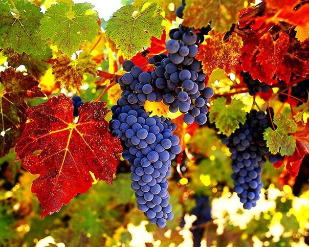 виноград (604x483, 111Kb)