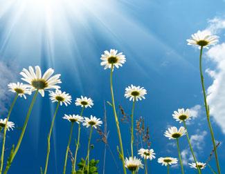 daisies (325x252, 24Kb)