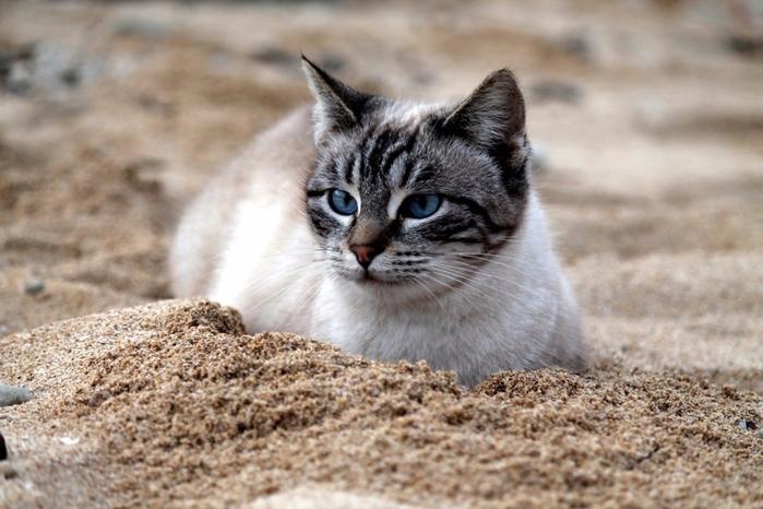 кошачий пляж на сардинии 14 (700x466, 329Kb)
