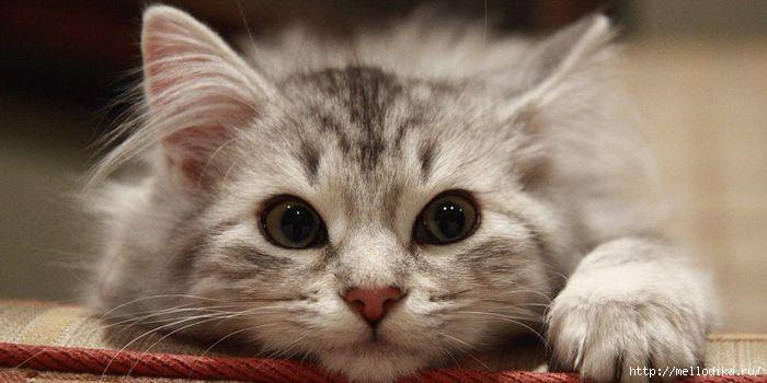 cat1 (700x350, 107Kb)