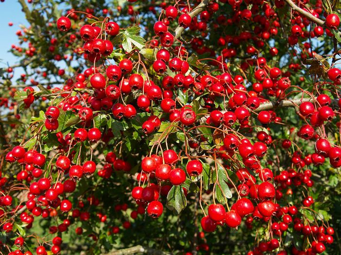 2627134_autumn_berry_15 (700x525, 124Kb)