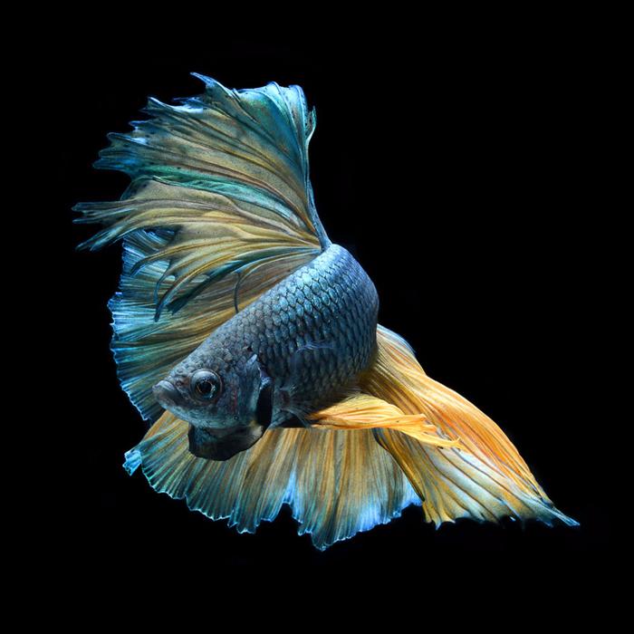 visarute-angkatavanich-goldfish-02 (700x700, 294Kb)