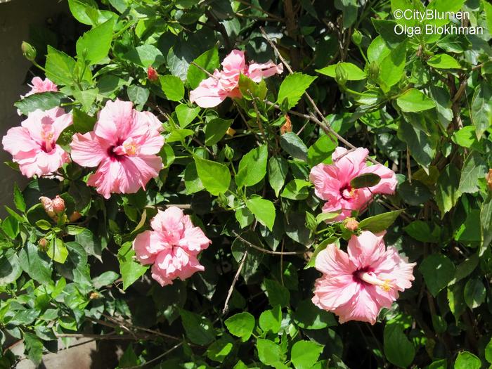Hibiscus1604_7679Hibiscus (700x525, 558Kb)