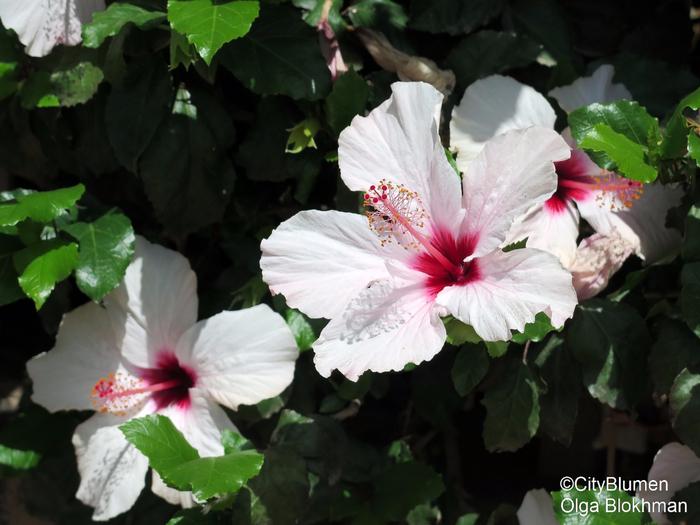 Hibiscus1604_7695 (700x525, 346Kb)