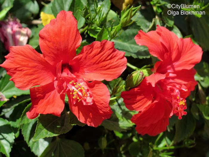 Hibiscus1604_7741 (700x525, 440Kb)