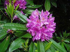 265px-Rhododendron-by-eiffel-public-domain-20040617 (265x199, 18Kb)