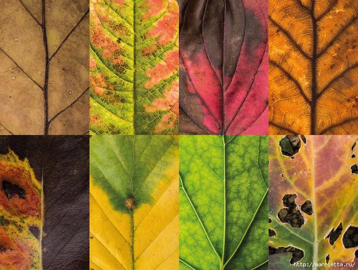 Волшебные краски осенних листьев (4) (700x527, 409Kb)