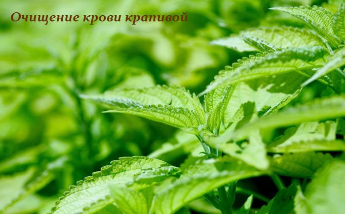 2749438_Ochishenie_krovi_krapivoi (700x435, 456Kb)