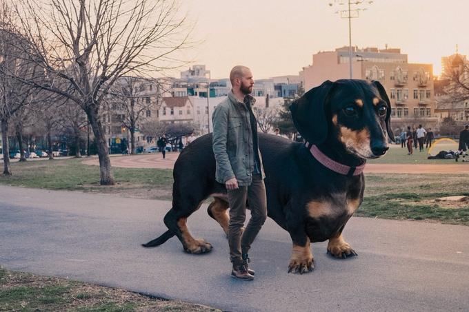 mitch-boyer-vivian-the-giant-wiener-dog-etoday-01 (680x453, 341Kb)