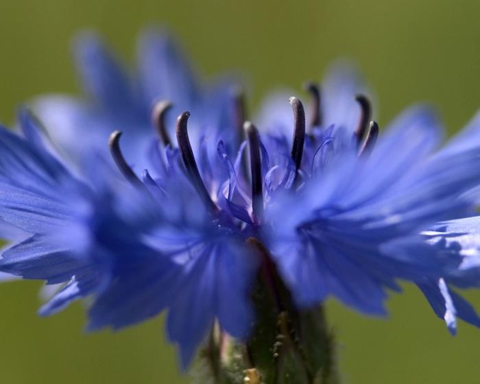 """akt=""""Васильки, васильки, неба синего цветы…""""/2835299_1 (700x560, 190Kb)"""
