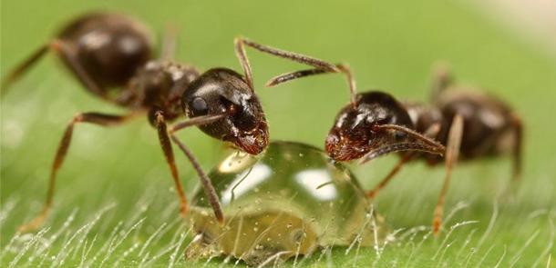 муравьи (610x295, 50Kb)