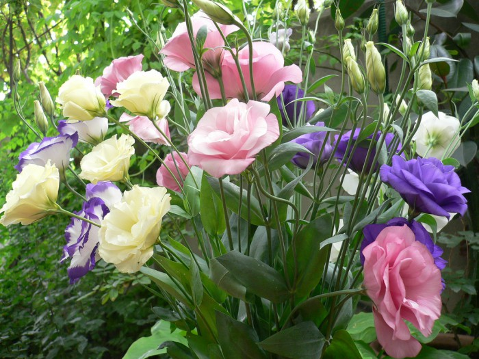 eustoma-foto-03-e1421679163214 (700x525, 135Kb)