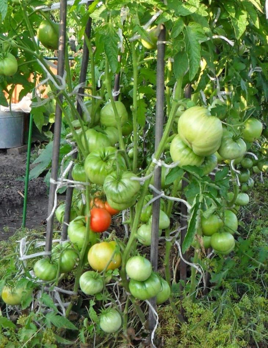 Выращивание помидоров по два корня в лунке1 (539x700, 499Kb)