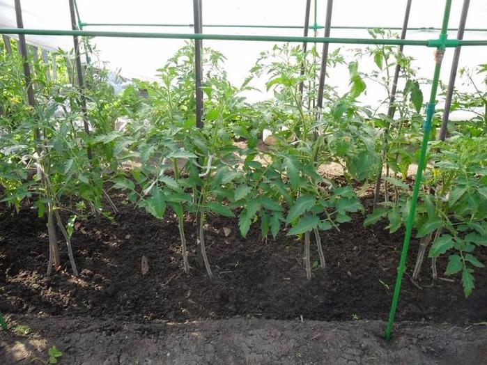 можно садить помидоры по 2штуки в лунку первые вкладчики выигрывают