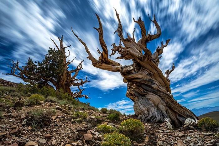 самое-старое-дерево (700x466, 129Kb)