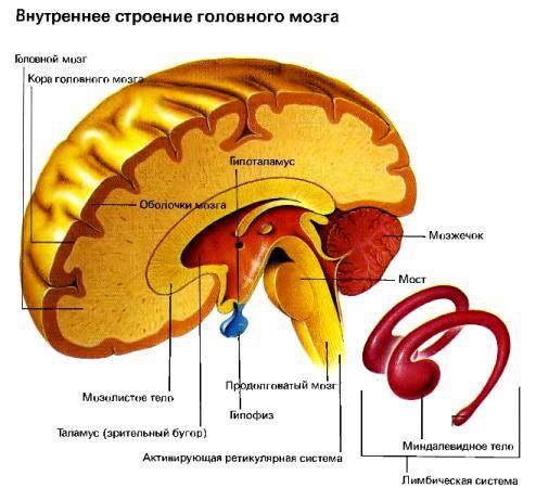 Ретикулярная формация мозга (494x450, 43Kb)