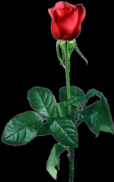 rose_2 (441x700, 236Kb)