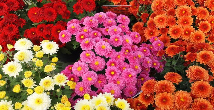Chrysanthemums-add-instant-colour-to-borders-and-containers-973x500 (700x359, 117Kb)