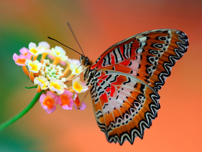 best_of_the_best_butterfly_wallpaper-download_free_hd_butterfly_wallpapers (700x525, 299Kb)