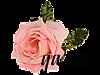 розовая розочка далее (100x75, 11Kb)