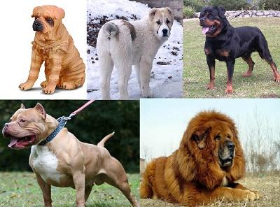 бойцовские породы собак (400x296, 68Kb)