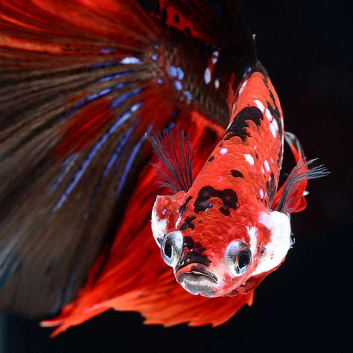visarute-angkatavanich-goldfish-08 (700x700, 90Kb)
