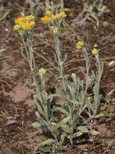 Helichrysum_arenarium (450x600, 83Kb)