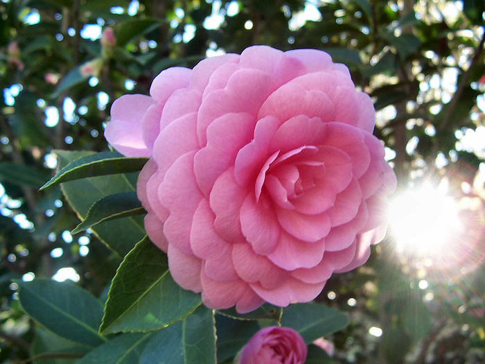 pink-pink-camellia (500x325, 125Kb)