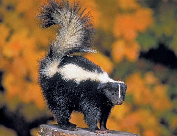 skunk5 (700x535, 85Kb)