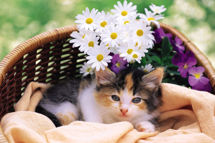 Kitten-With-Daisies-2880x1920 (700x466, 450Kb)