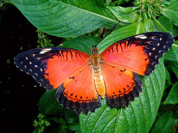 Red Lacewing (700x525, 516Kb)