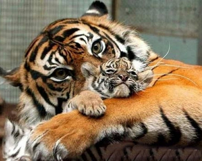 mother-and-baby-tiger (700x560, 352Kb)