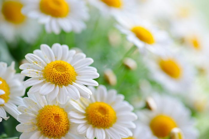 31681-chrysanthemum (700x467, 98Kb)