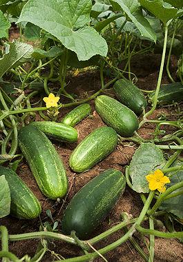 265px-ARS_cucumber (265x380, 49Kb)