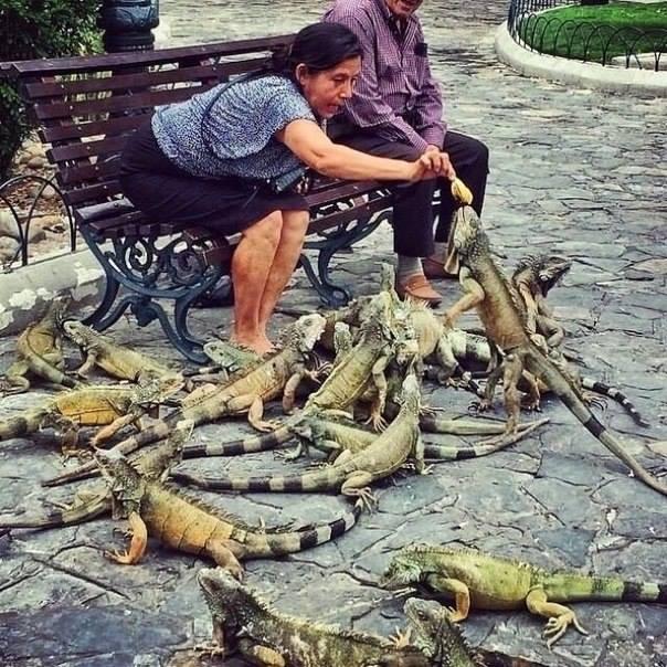 _голуби_ в Эквадоре (604x604, 380Kb)