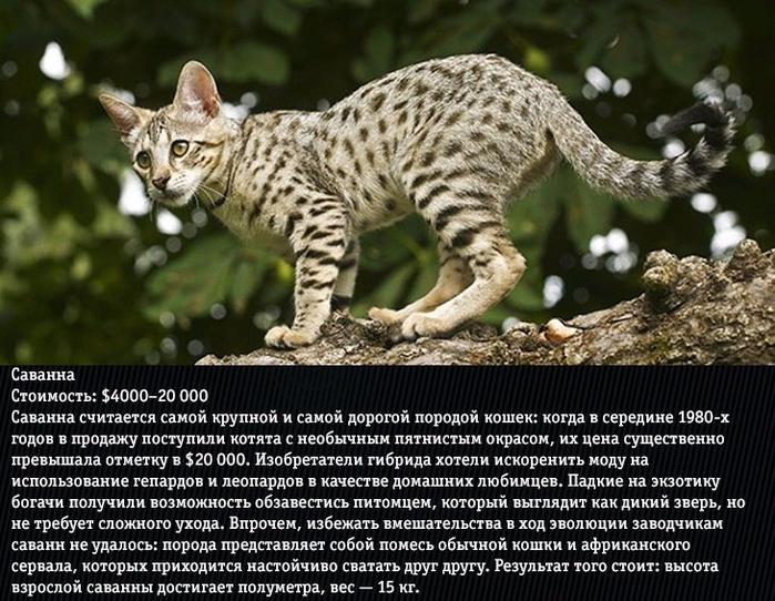 10 самых дорогих кошек (700x542, 430Kb)