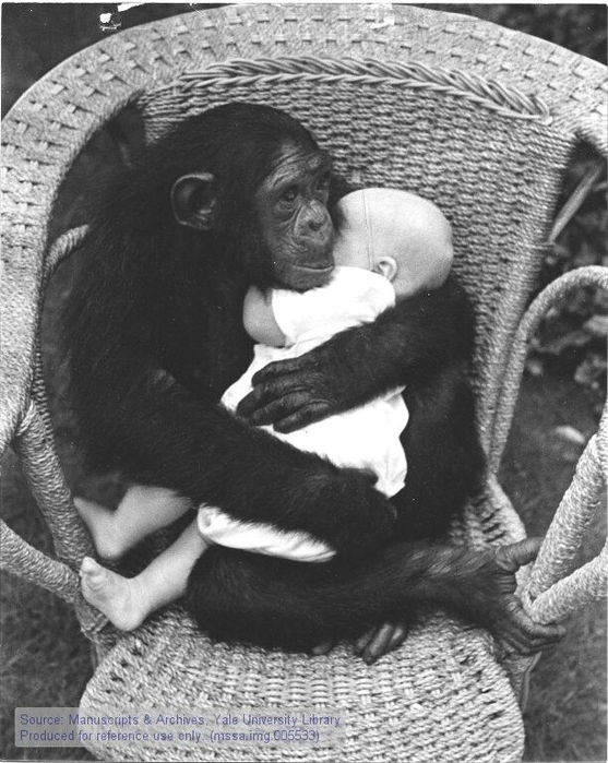 chimpanzee-cradling-human-baby-in-wicker-chair-do-not-use-these-or-any-animals-for-34-testing-34-these-animals-all-are-deeply-sensitive-tender-gentle-creatures-they-must-all- (557x700, 264Kb)