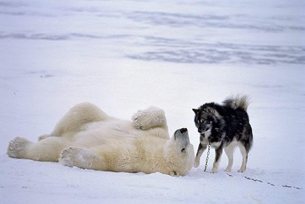 Белый медведь и собака