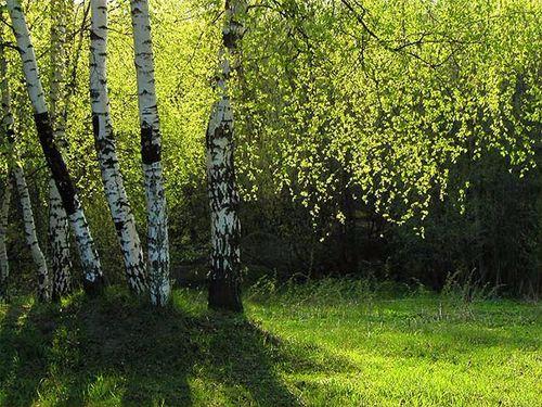birch (500x375, 328Kb)