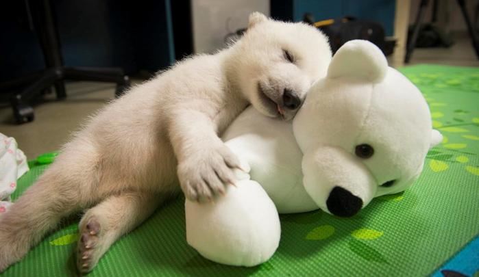 polar-bear-cub-1333---grahm-s-jones-columbus-zoo-and-aquarium (700x405, 235Kb)