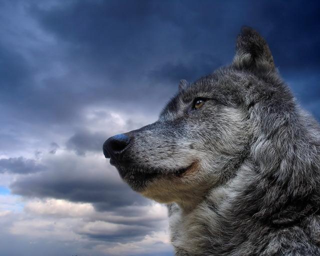 Волк/4645991_volk (640x512, 158Kb)