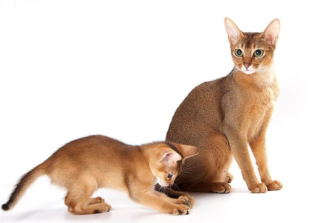 Абиссинская кошка/4645991_05 (655x435, 41Kb)