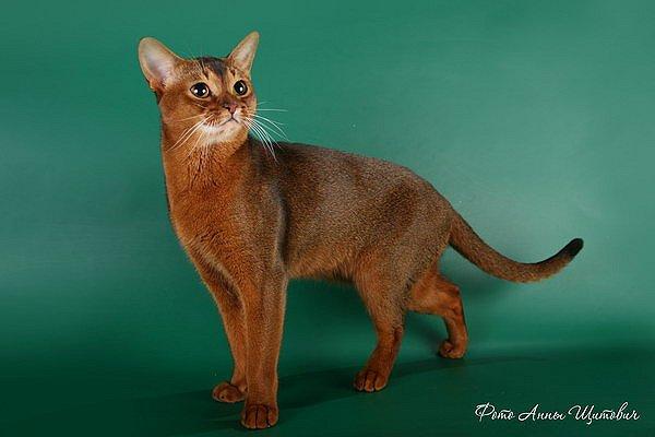 Абиссинская кошка/4645991_02 (600x400, 31Kb)