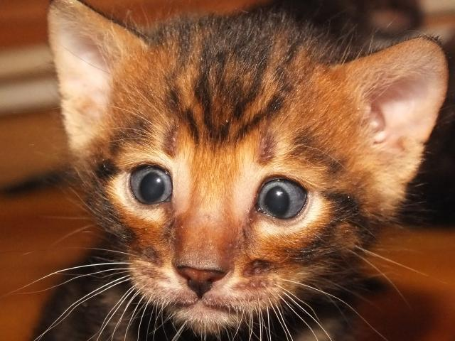 Котёнок тойгера/4645991_kitten (640x480, 53Kb)