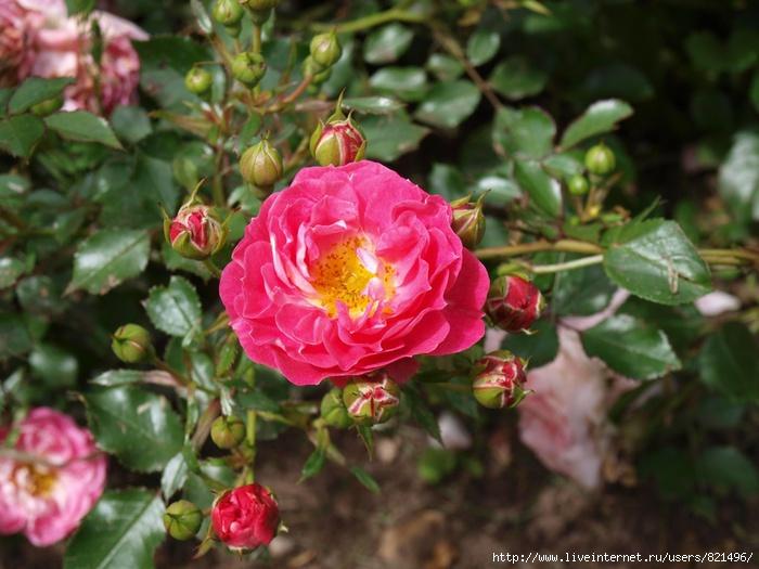 rosa1 (700x525, 207Kb)