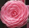 Без-имени-1далее-роза (100x97, 21Kb)