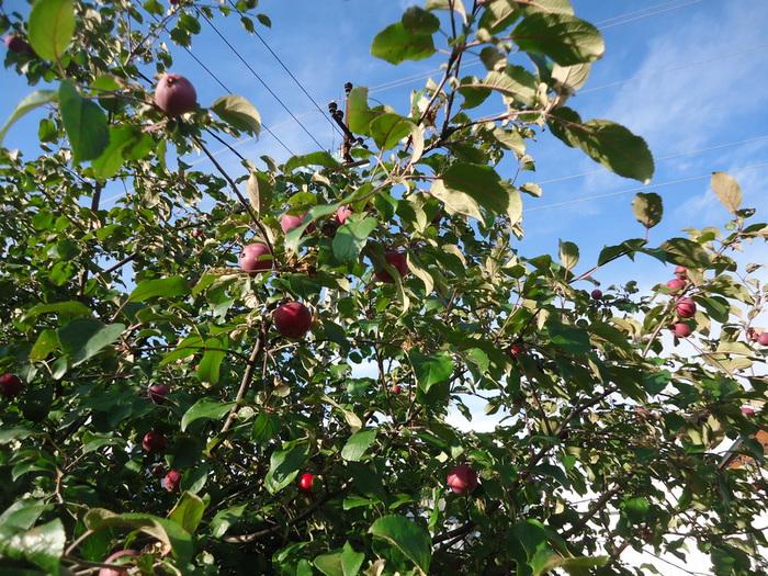 яблоки июль 16 г (700x525, 249Kb)