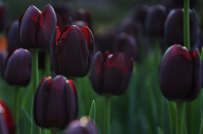 Black-tulip-bulbs-2PC-bag-It-is-not-a-tulip-seed-a-rare-flower-seeds (700x465, 205Kb)